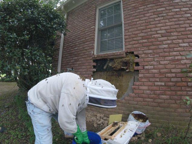 Οι μέλισσες ήταν εξαιρετικά συνεργάσιμες σε όλη τη διάρκεια της διαδικασίας αυτής.