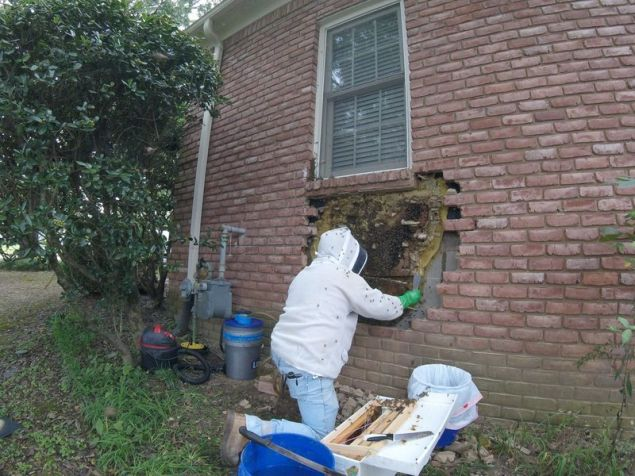 Στην αριστερή πλευρά της κυψέλης υπήρχαν πολλές νεκρές μέλισσες, πιθανότατα από το παρασιτοκτόνο που έριξε ο ιδιοκτήτης του σπιτιού.