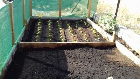 Εχουν ήδη σπείρει σπανάκι, παντζάρι, άνηθο, ρόκα, λουλούδια και κρεμμύδι σε κοκκάρι