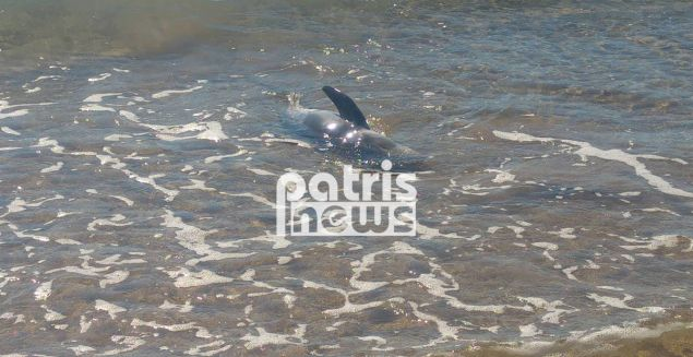 Το ζωνοδέλφινο  βγήκε στα ρηχά της παραλίας της Σπιάτζας