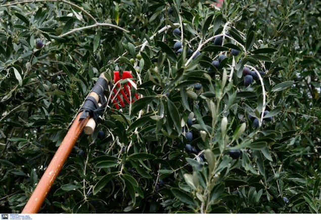 Το ειδικό εργαλείο συγκομιδής του καρπού της ελιάς -Φωτογραφία: Intimenews/ΠΑΝΑΓΙΩΤΟΠΟΥΛΟΣ ΝΙΚΟΣ