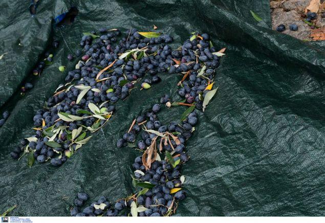 Ο καρπός της ελιάς έτοιμος για συγκομιδή -Φωτογραφία: Intimenews/ΠΑΝΑΓΙΩΤΟΠΟΥΛΟΣ ΝΙΚΟΣ