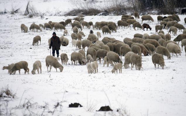 Βοσκός οδηγεί το κοπάδι του στα χιονοσκέπαστα λιβάδια σε χωριό 30χλμ βόρεια του Βελιγραδίου (Φωτογραφία: ΑΡ)