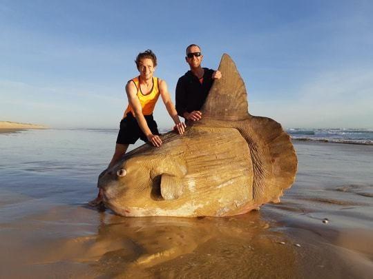 Μάλιστα δεν είναι η πρώτη φορά που εντοπίζεται τέτοιο ψάρι στην Αυστραλία, καθώς έχουν εντοπιστεί πολλά φεγγαρόψαρα να προκαλούν καταστροφές σε σκάφη.