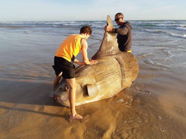 Viral έχει γίνει το γιγαντιαίο φεγγαρόψαρο που ξεβράστηκε από τον ωκεανό στον ποταμό Μάρεϊ στην Αυστραλία.