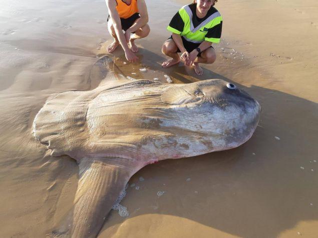 Το δέρμα του ψαριού έμοιαζε με ρινόκερου, ενώ τα λέπια του ήταν καλυμμένα με άμμο.