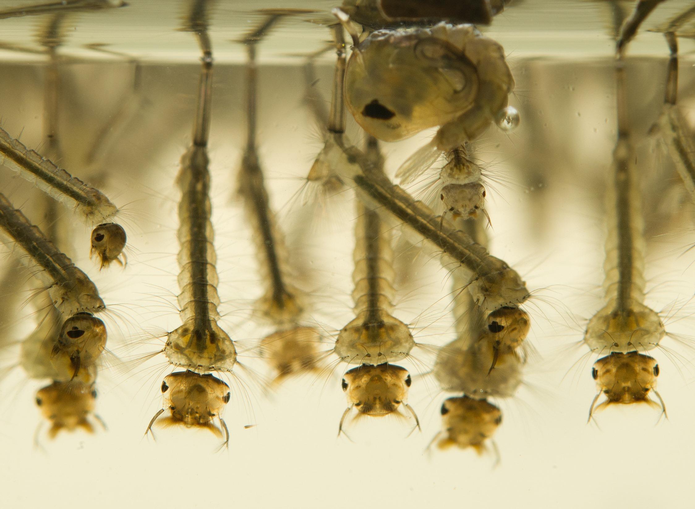 Προνύμφες κουνουπιών