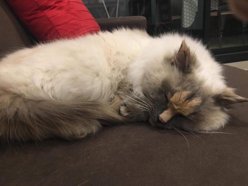 Γάτα ξαπλωμένη σε καναπέ